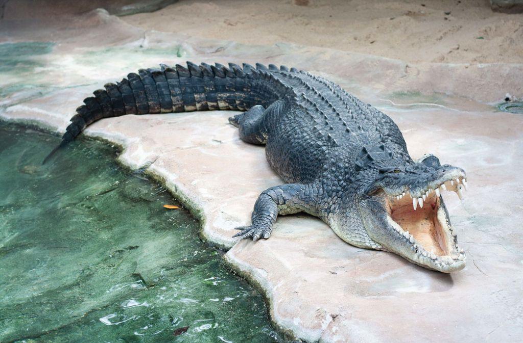 Krokodil Frederick kam 2019 in die Wilhelma. Foto: Wilhelma Stuttgart/Inga Dauter