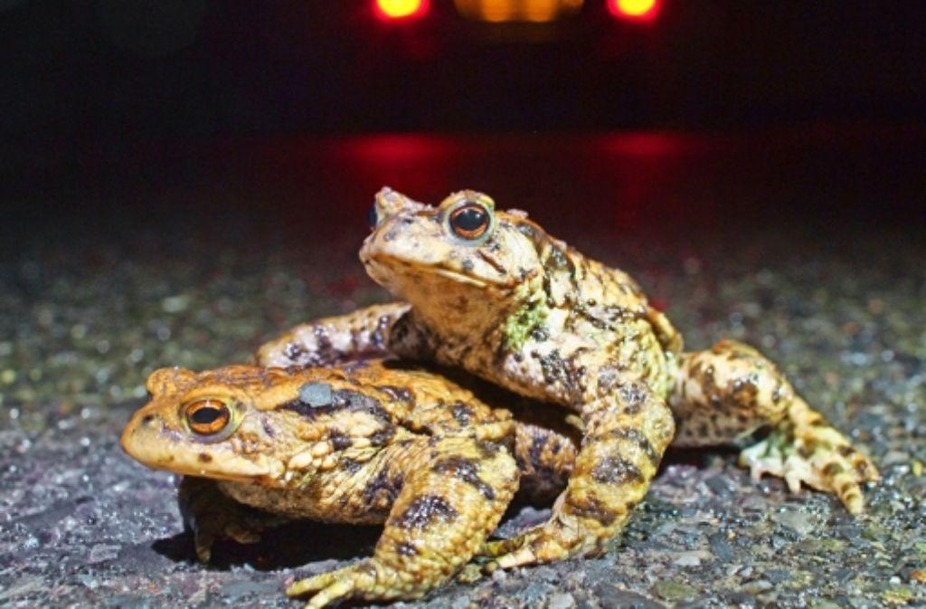 Glück gehabt: diese beiden Kröten sind vom Auto nicht überfahren worden. Foto: dpa