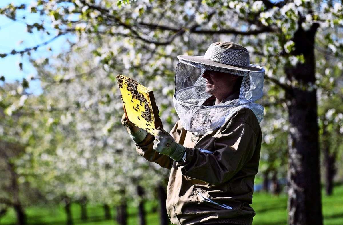 Welcher Laie findet unter all den Bienen die Königin? Eigentlich nur einer, der sich auskennt, sagen die Hohenheimer Imker. Foto: dpa/Patrick Seeger