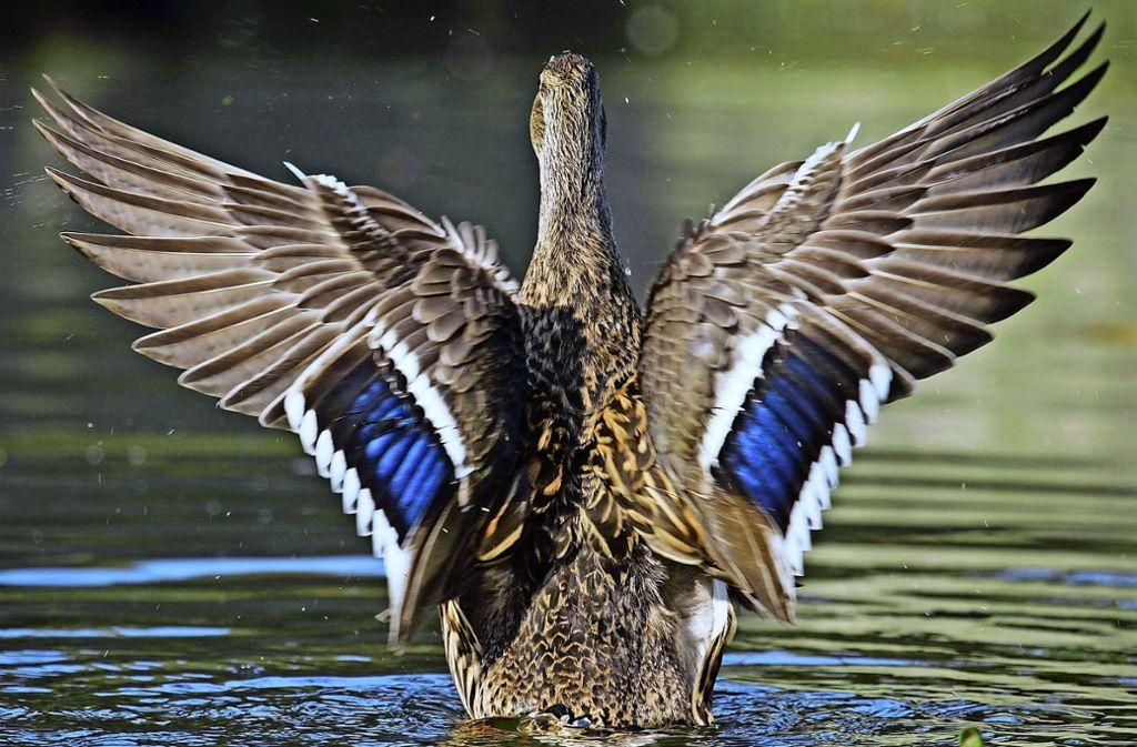 Nicht nur mit den Flügeln schlagen, die Jungenten müssen fliegen, damit sie vom Dach der Galerie herunterkommen. Foto: dpa