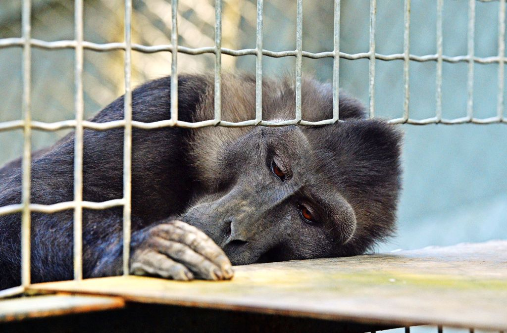 Für Studien, die die Auswirkung von  Dieselabgasen untersuchten, wurden Makaken eingesetzt. Foto: AFP