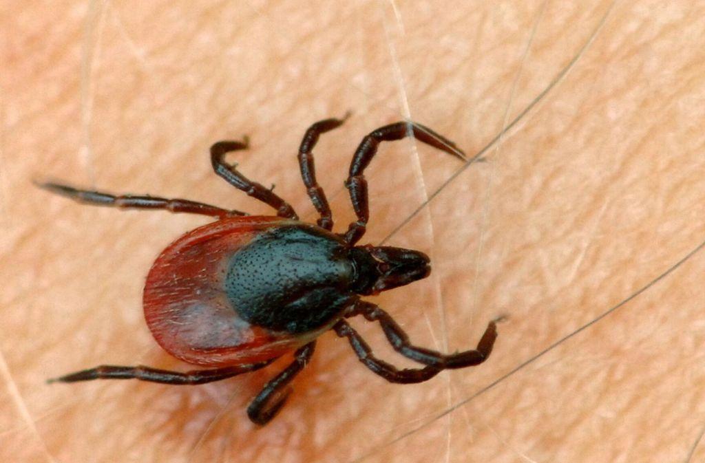 Sind sie winzig klein, gelten sie als ungefährlich. Doch je älter Zecken werden, desto größer ist das Risiko, dass sie Krankheiten übertragen. Foto: dpa