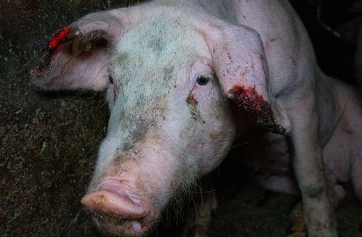 Behörden schließen Schweinehaltungsbetrieb