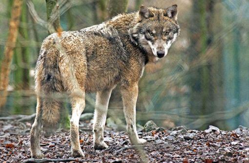 Hatte der Wolf Kontakt zu Menschen?