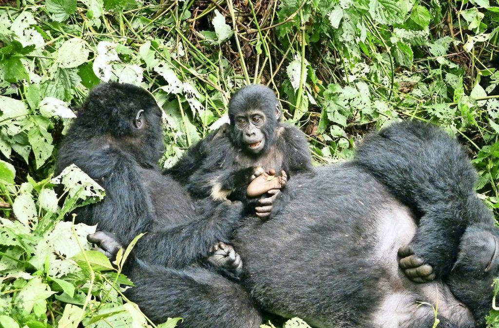 Gorilla Silberrücken mit Frau und Tochter beim  Kraulen und Lausen im Bwindi-Impenetrable-Nationalpark. Foto: privat
