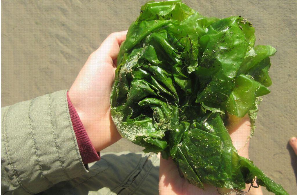 Algen gehören zu den ältesten Lebensformen auf der Erde (auf dem Foto sieht man Meersalat aus dem schleswig-holsteinischen Wattenmeer, eine essbare Algenart). Bei dem jetzt gefundenen Pflanzenfossil handelt es sich um eine Rotalge. Foto: dpa