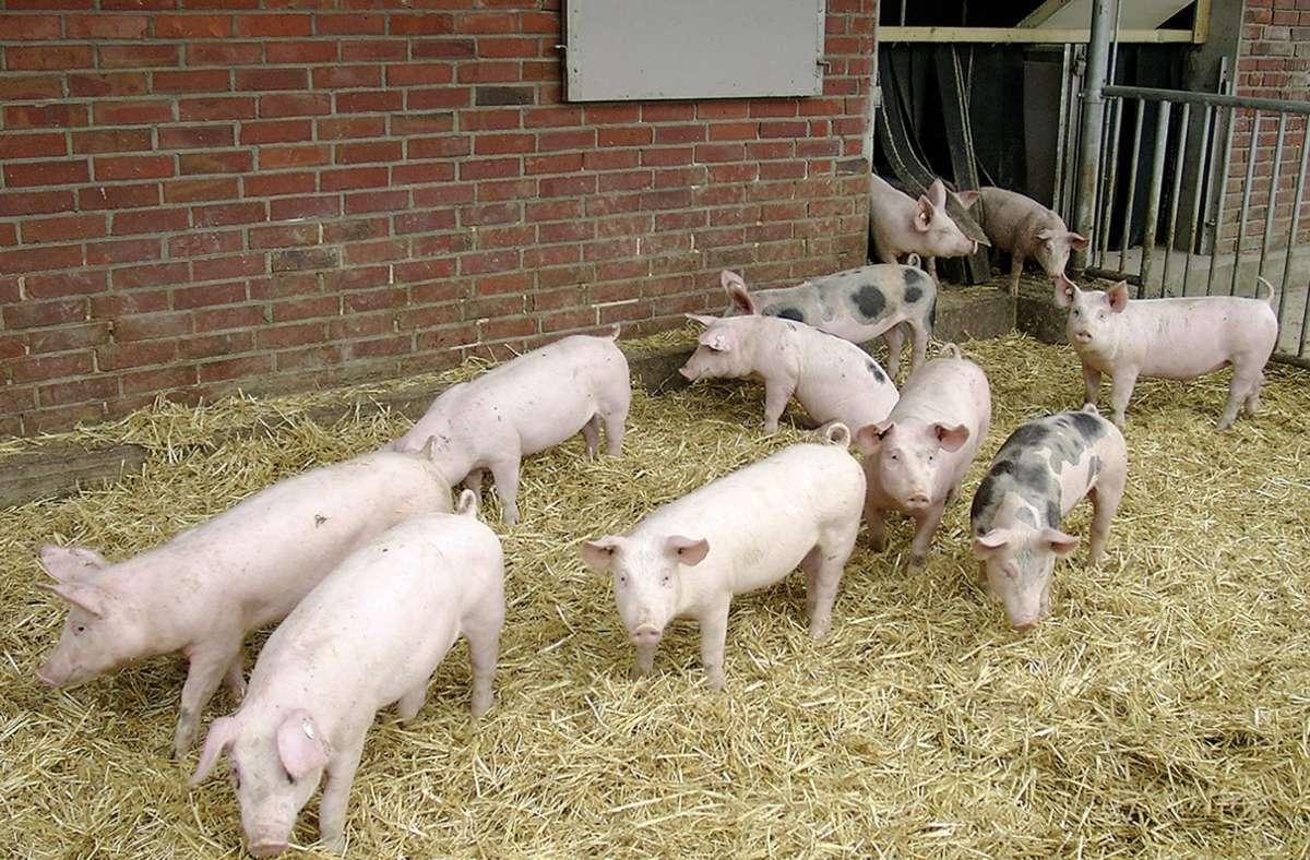 Hohenloher Landschweine in einem Stall Foto: dpa/BESH