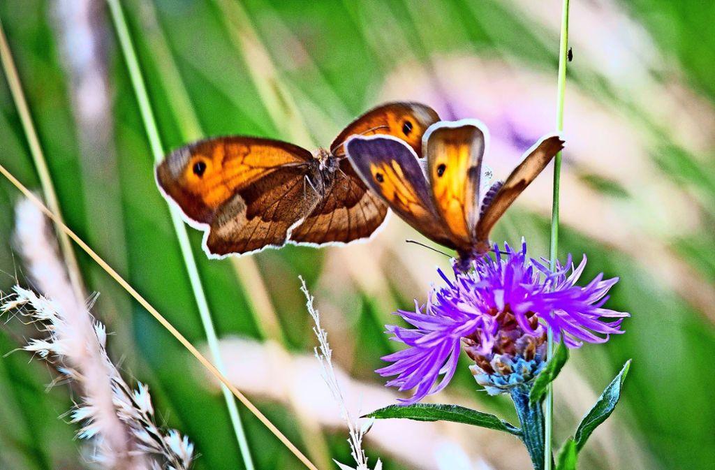 Auch die Kornblume ist eine durch Monokulturen auf den Feldern bedrohte Pflanze. Foto: dpa/Frank Rumpenhorst