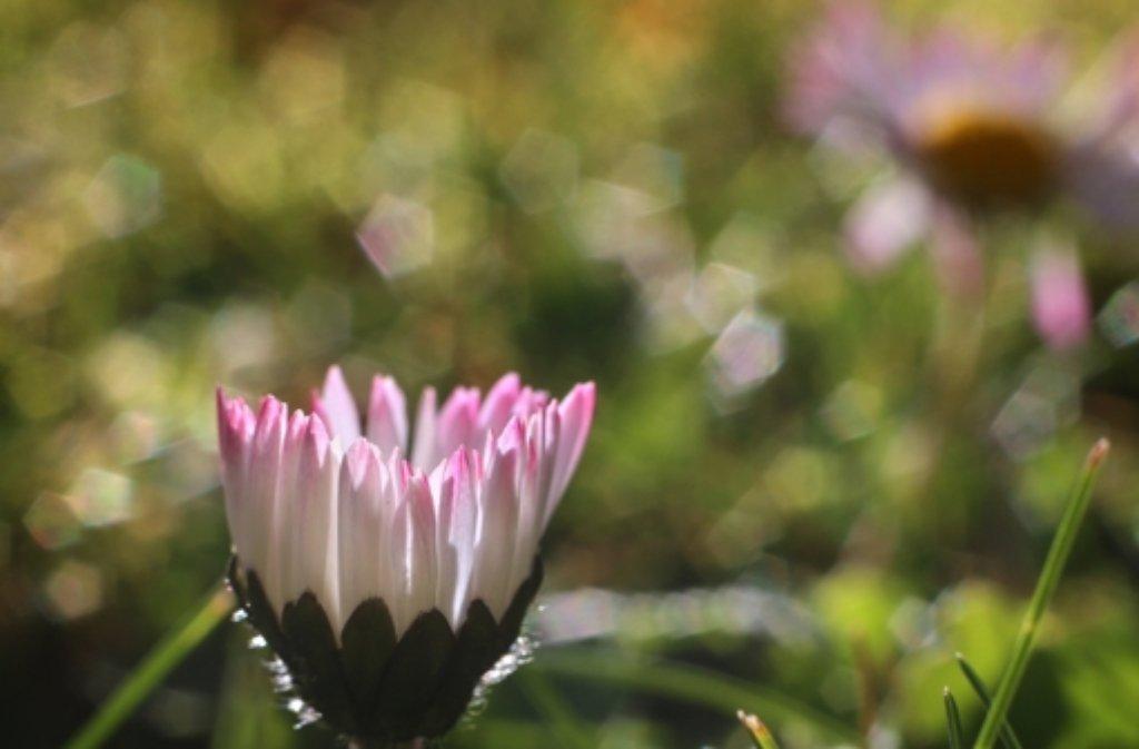 Dem Gänseblümchen könnte es demnächst doch zu kalt werden. Es wird kälter im Südwesten – aber es bleibt trocken. Foto: dpa