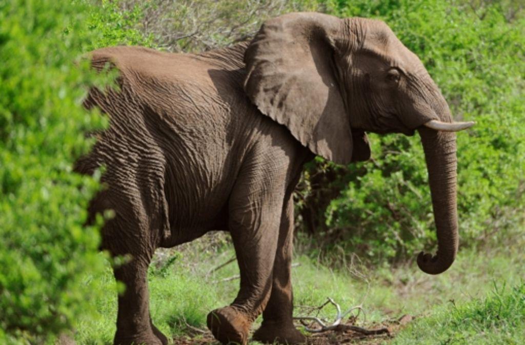 Immer mehr Elefanten fallen wegen ihrer Stoßzähne Wilderern zum Opfer. Foto: dpa