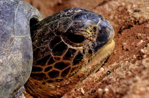Schildkröte behindert Verkehr und erhält Verwarnung