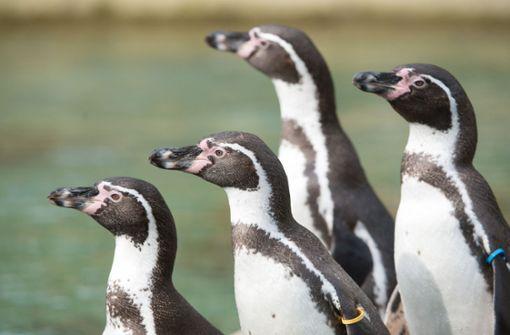 Pinguine erkunden ein  Museum