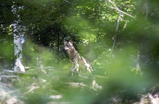 Wolf nahe Baden-Württemberg gesichtet