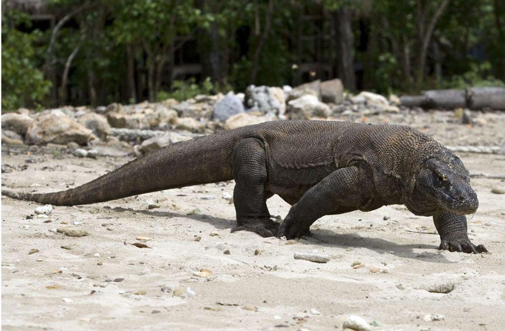Ein Komodowaran, aufgenommen im Komodo Island Nationalpark. Foto: