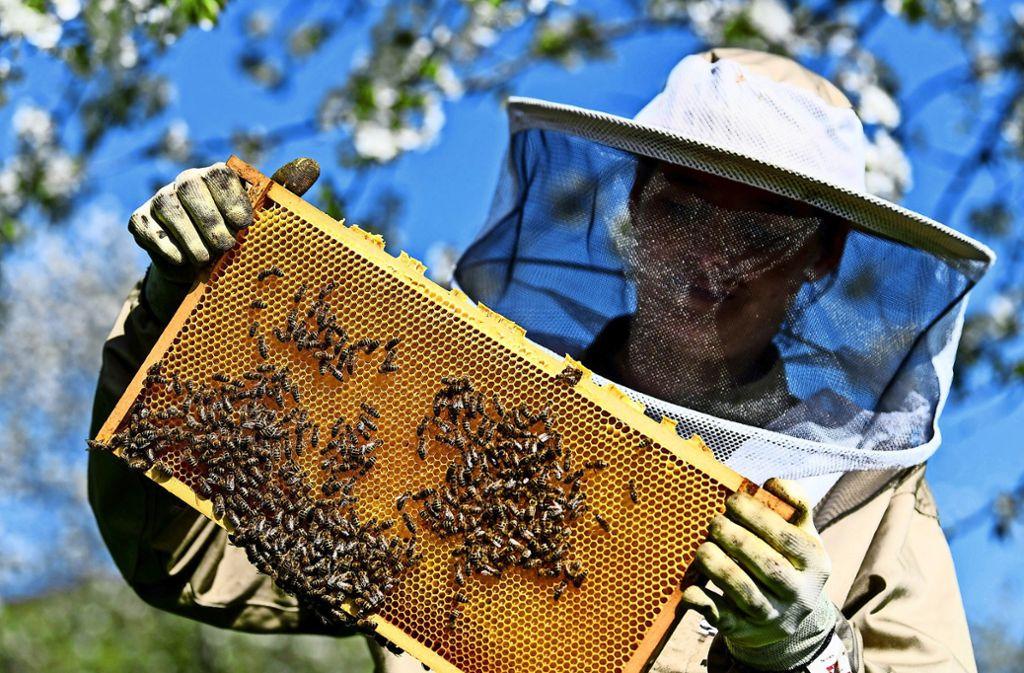 Das Argument der Stadt: Honigbienen nehmen den Wildbienen den Blütenstaub weg, Foto: dpa