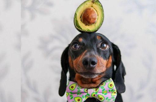 Dackel Harlso  balanciert Avocados und Kartenhäuser auf dem Kopf
