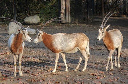 Der Zoo beginnt mit der Haltung von Säbelantilopen