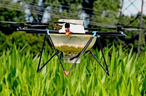 Mit Drohnen wird der Maiszünsler bekämpft
