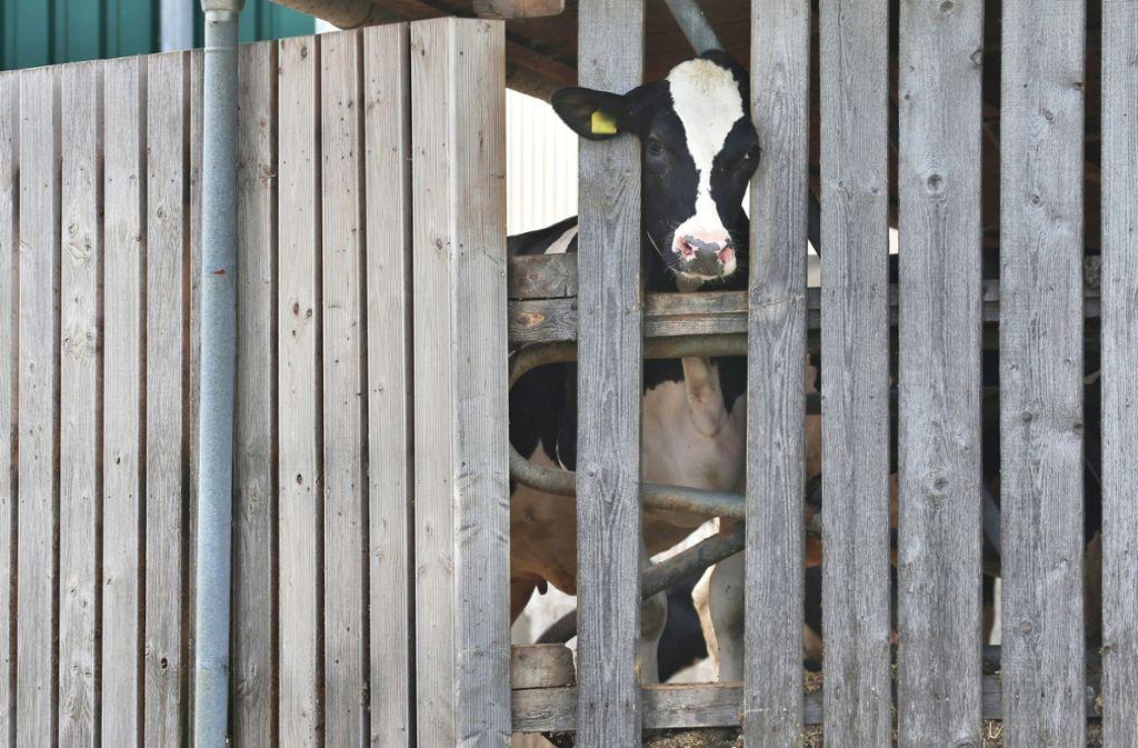Eine Kuh  streckt ihren Kopf durch die Holzlatten eines Stalls. In einem Milchviehbetrieb in Bayern sollen  die Tiere gequält worden sein. (Symbolbild) Foto: dpa/Karl-Josef Hildenbrand