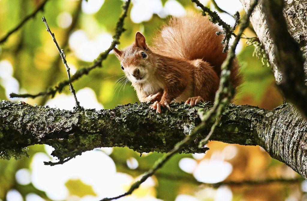 Der trockene Sommer könnte den Eichhörnchen erhebliche Probleme bereiten. Foto: dpa/Thomas Warnack