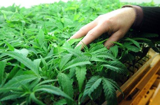 Haft wegen Marihuana-Plantage