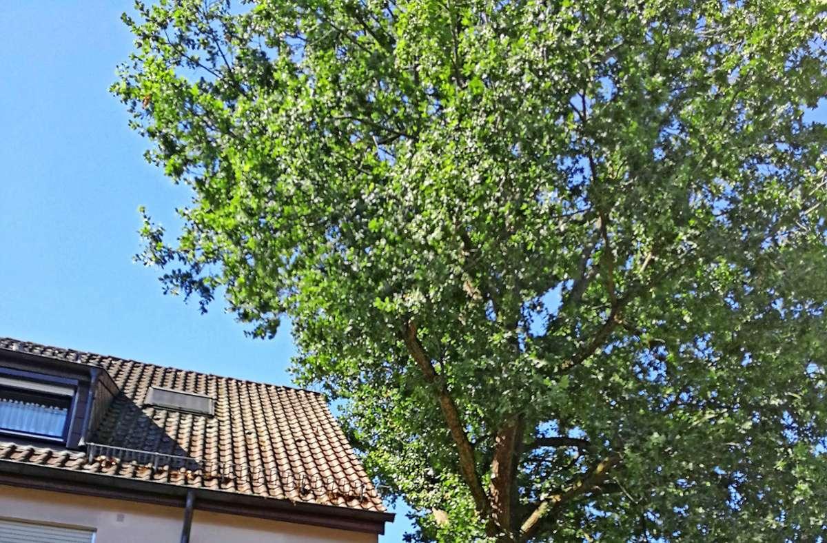 Die Eiche neben dem  Haus an der Spitalstraße in Zuffenhausen sieht zwar schön aus, verursacht aber unter der Erde durch ihre Wurzeln schwere Schäden. Foto: Marta/ Popowska