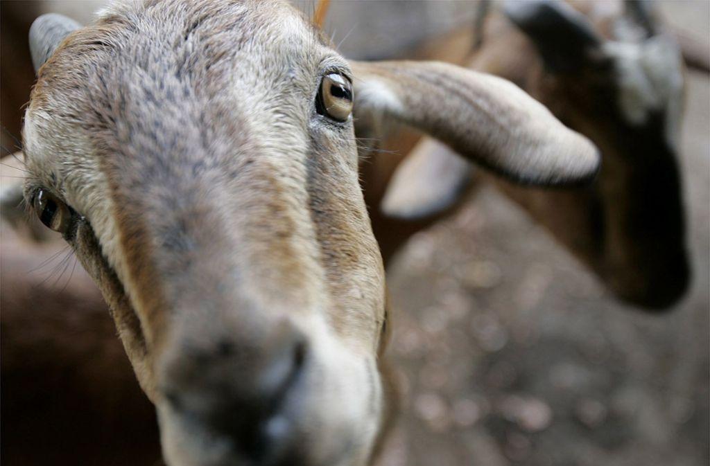 Wegen der vermutlich unsachgemäßen Schlachtung droht den Männern ein Verfahren wegen Verstoßes gegen das Tierschutzgesetz (Symbolbild). Foto: AP