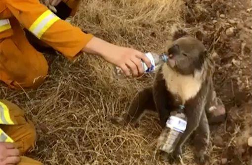 Model sammelt Spenden für Koalas mit Nacktbildern