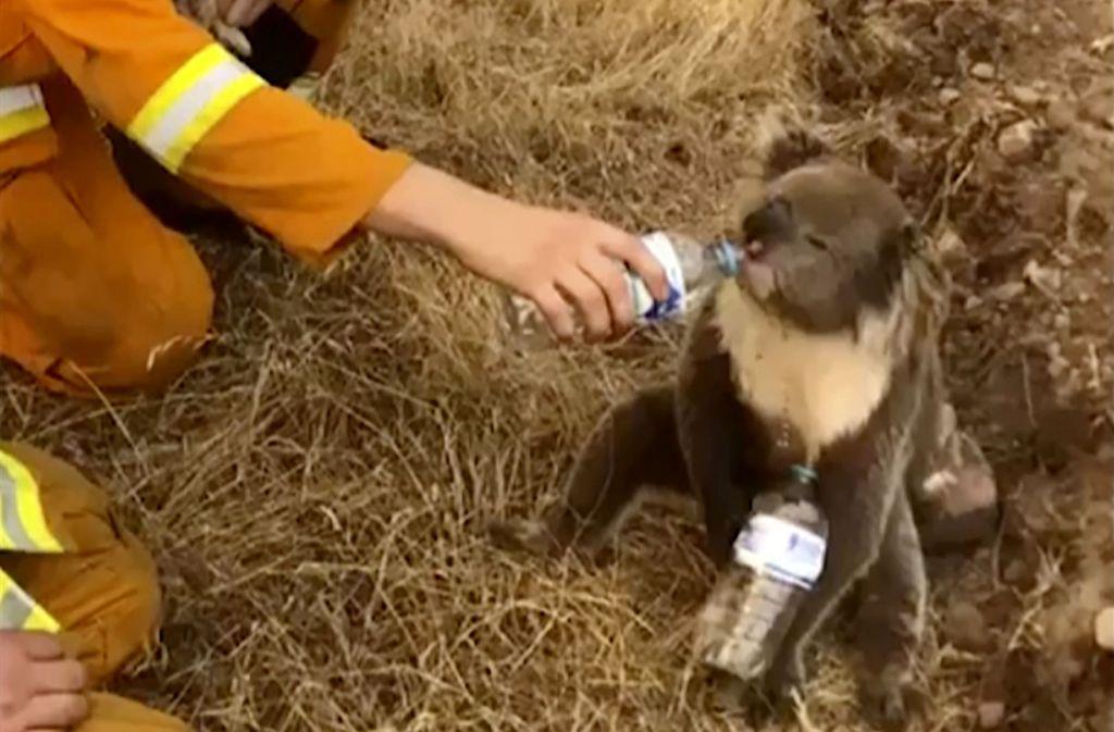 Die Tierwelt in Australien leidet unter den Waldbränden. Eine ungewöhnliche Spendenaktion soll helfen. Foto: AP