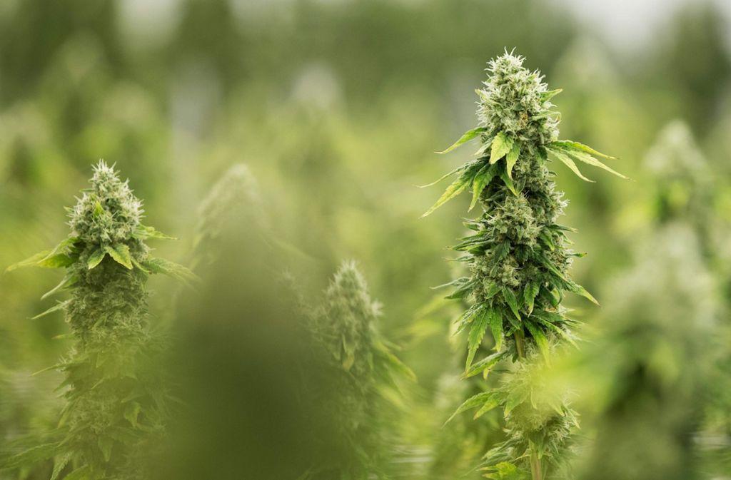 In der Gegend um Friesenheim (Ortenaukreis) wurden mehrere Cannabisplantagen entdeckt. (Symbolbild) Foto: AFP