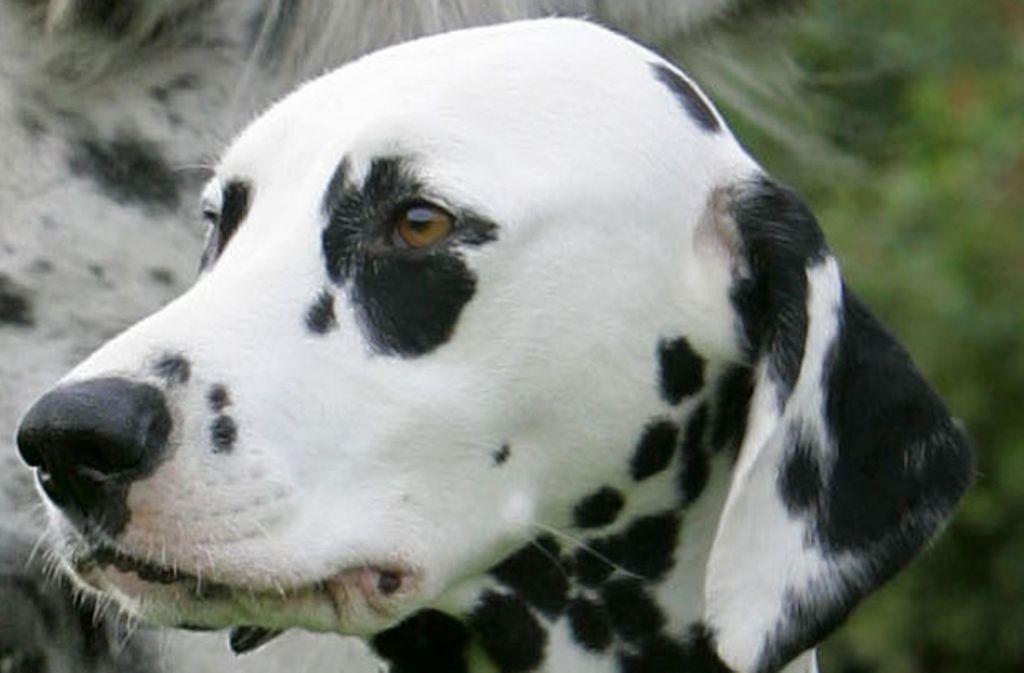 Ein Dalmatiner in Alfdorf hat Glück gehabt und einen mit Messerstücken präparierten Köder nicht gefressen. Foto: dpa