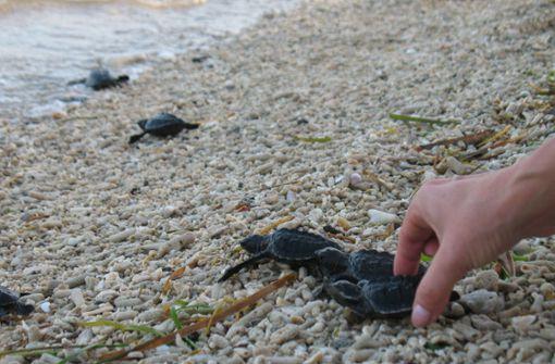 Frau trampelt auf Schildkröten-Gelege herum