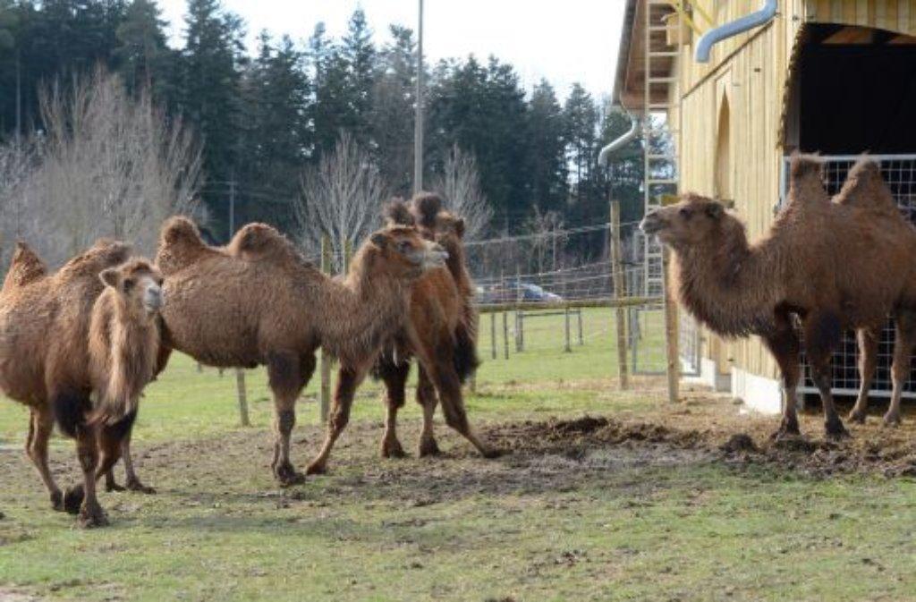 Nur fünf Tiere überlebten den verheerenden Brand auf dem Kamelhof in Ebhausen-Rotfelden (Kreis Calw), 87 Kamele starben. Foto: dpa