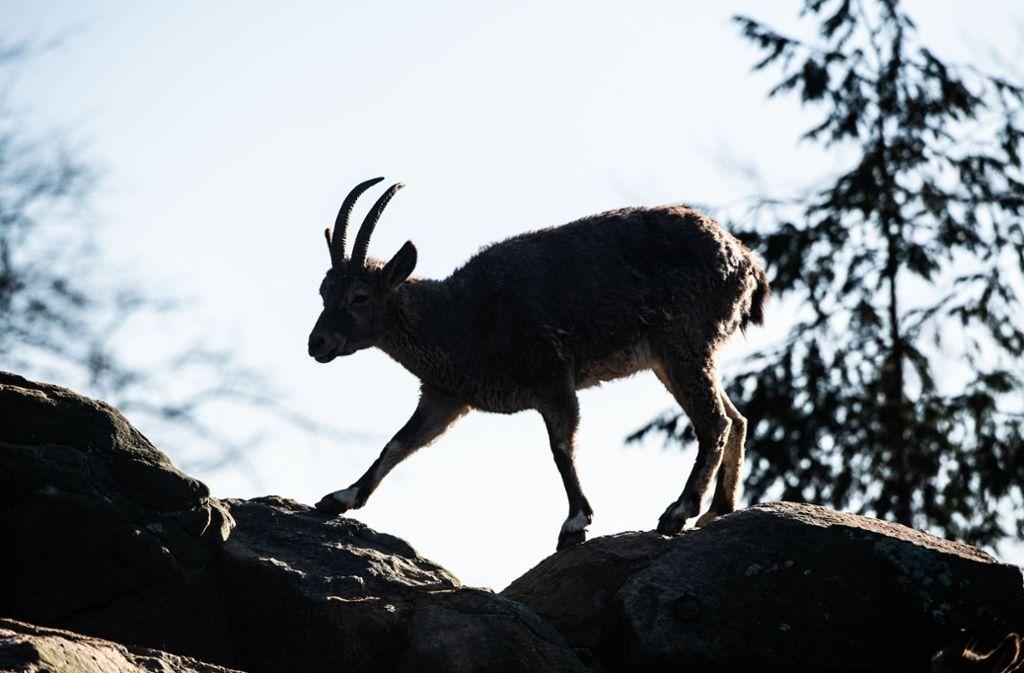 Ein Alpensteinbock in seiner natürlichen Umgebung. Foto: dpa