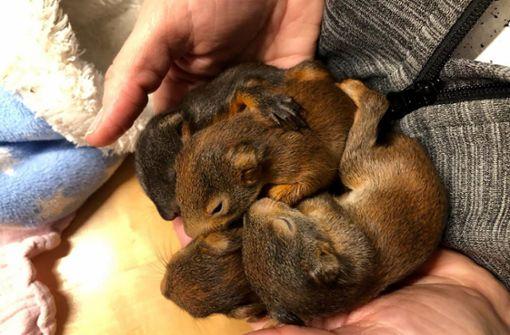 Feuerwehr rettet Eichhörnchen-Babys