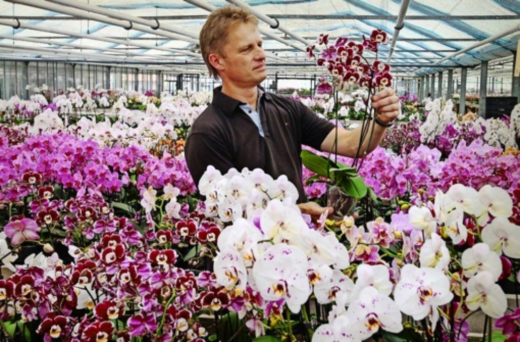 Bereit zum Verkauf: Werner Metzger begutachtet die Pflanzen. Zwei Jahre müssen die Orchideen kultiviert werden, bis sie so  in voller Blüte stehen. Foto: