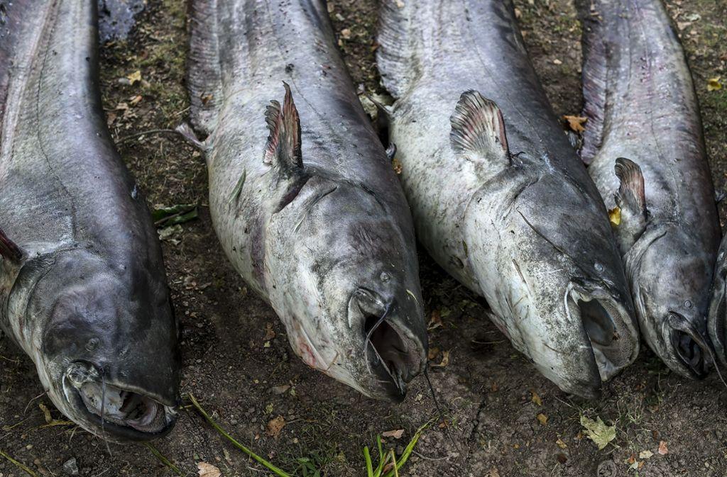 Tote Fische am Max-Eyth-See Foto: Lichtgut/Leif Piechowski