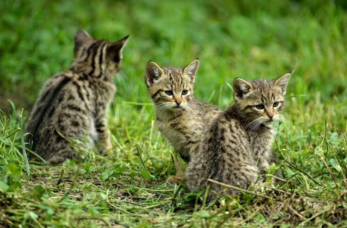 Insbesondere junge Wildkatzen sehen Hauskatzen zum Verwechseln ähnlich. Foto: Thomas Stephan/BUND/obs