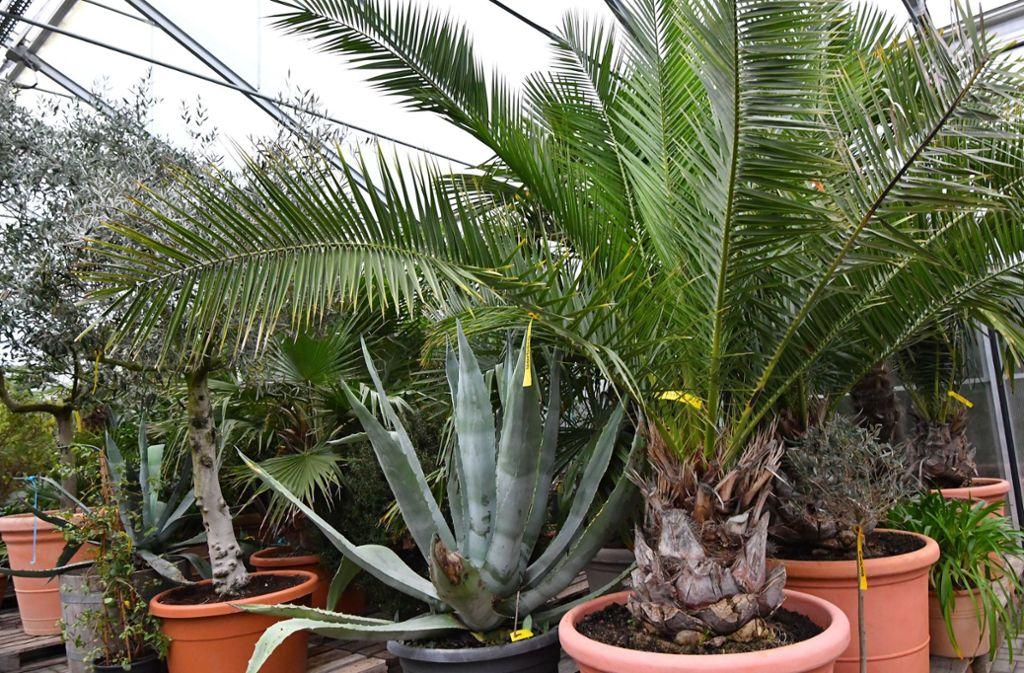 Palmen, Bambus, etwa 20 verschiedene Zitrusgewächse, aber auch Sträucher können Kunden mieten. Foto: dpa-Zentralbild