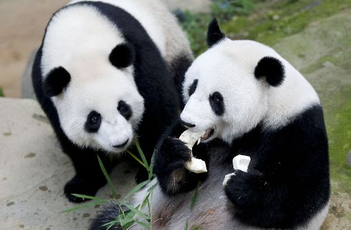 Panda-Familie feiert Geburtstag