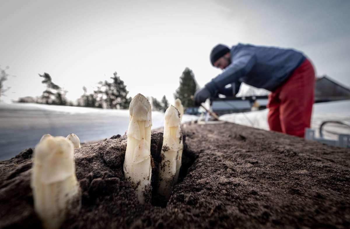 Rumänen und Migranten aus anderen südost- und osteuropäischen Ländern arbeiten unter anderem bei der Spargelernte auf deutschen Feldern mit. Foto: dpa