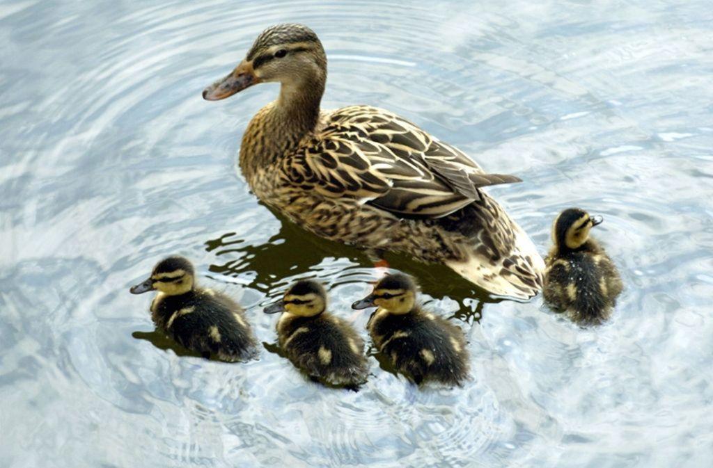 Eine  Entenfamilie ist wieder glücklich vereint (Symbolbild). Foto: dpa