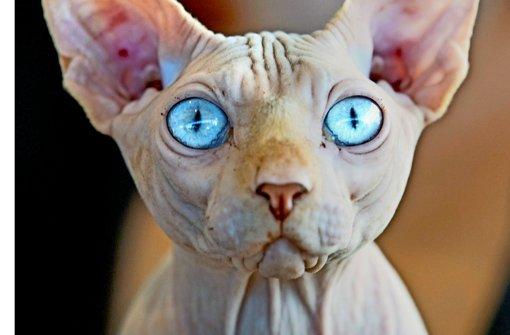 Das Verwaltungsgericht Berlin hält die Züchtung von solchen Katzen für  Quälerei. Foto: dpa