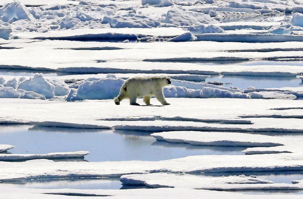 Eigentlich gefährdet: Im Nordpolarmeer wurde jetzt der Notstand wegen zu vielen Eisbären ausgerufen. Foto: AP