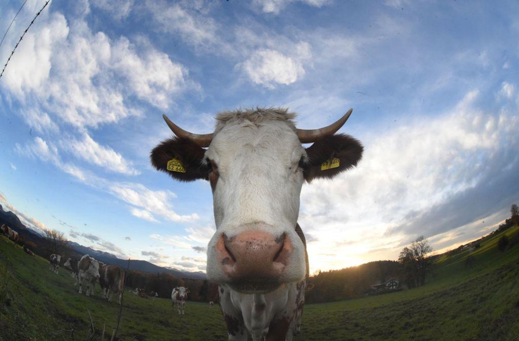 Vier Rinder haben am Donnerstag in Oberboihingen das Weite gesucht. (Symbolbild) Foto: dpa/Felix Hörhager