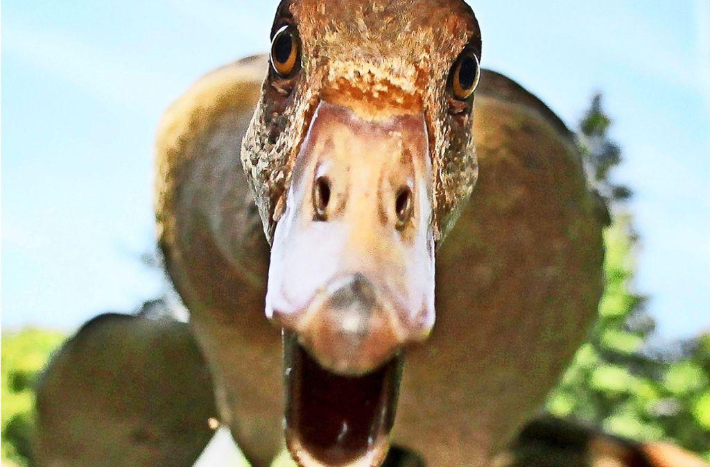 Verärgerte Nilgänse können aggressiv werden und Leute beißen. Foto: dpa