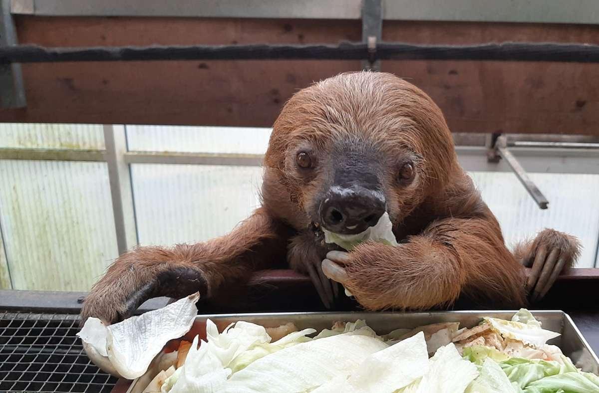 Faultier Jan beim Essen. Das Faultier aus dem Krefelder Zoo ist laut Guinness Buch der Rekorde das älteste in Gefangenschaft lebende Faultier der Welt. Foto: --/Zoo Krefeld/dpa/--