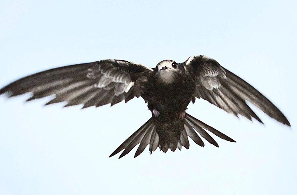 Mauersegler verbringen die meiste Zeit ihres Vogellebens in der Luft, sie schlafen sogar während des Flugs. Foto: dpa
