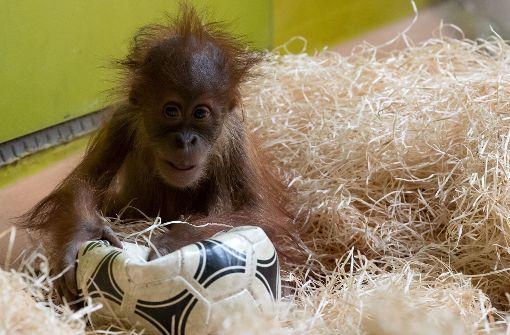Orang-Utan-Nachwuchs bereit für Bundesligastart