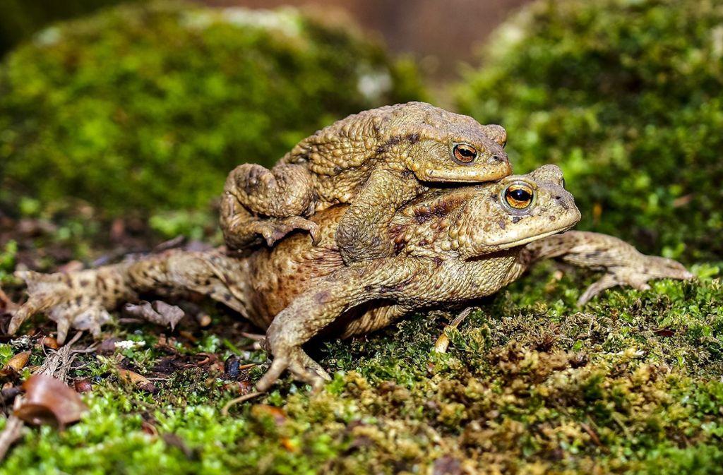 Die Kröten und Frösche sind von Ende Februar bis Ende April unterwegs. Foto: Pixabay